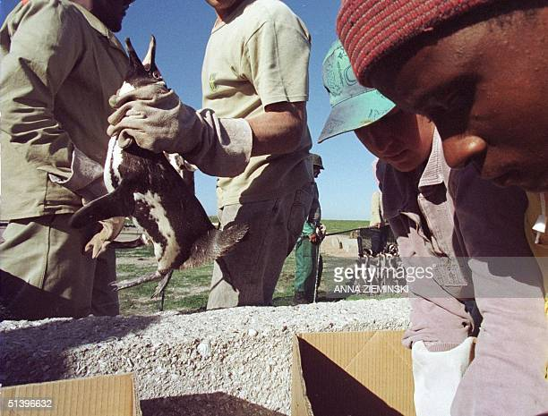 Workers on Dassen Island about 100kms north of Cape Town pack Jackass penguins into boxes in an evacuation to prevent them from becoming contaminated...
