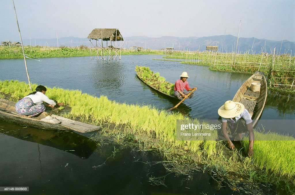 Workers on Floating Rice Field : Stock Photo