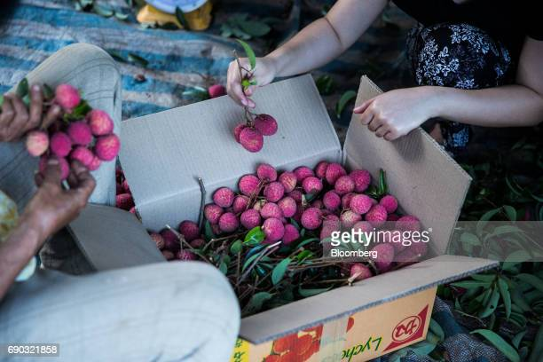 Workers pack harvested lychees into a box at an orchard in the Chai Prakan district of Chiang Mai province Thailand on Sunday May 28 2017 Thailand's...
