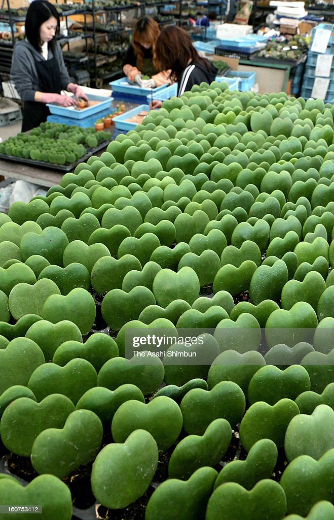 Workers pack heart-shaped plant Wax heart, or Sweetheart hoya for shipment on Janaury 29, 2013 in Mizuho, Gifu, Japan. The plant, sold as 'Love Love Heart' named after the leaf shape, is popular for Valentine's Day gift.