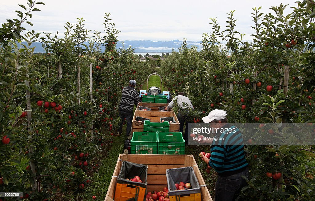Workers pick apples by hand during the apple harvest next to the lake Constance on September 4, 2009 in Lindau, Germany. The lake is situated in Germany, Switzerland and Austria near the Alps. More then 1500 farmers grow apples in the lake Constance area.