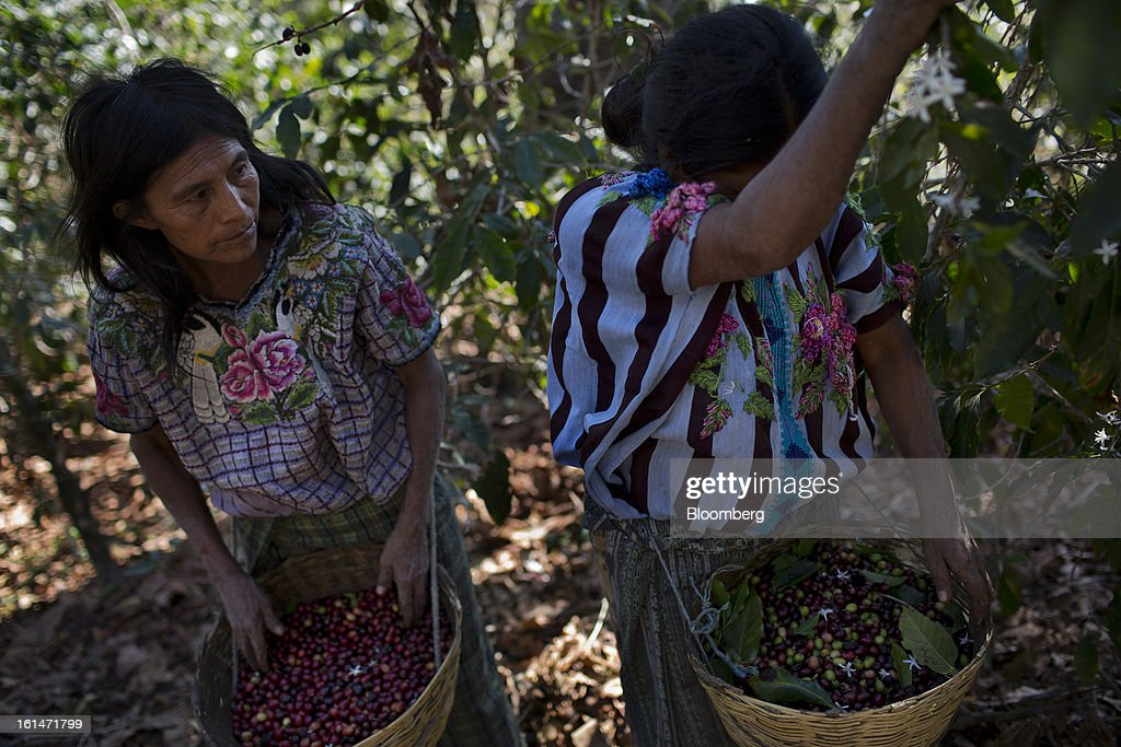 Workers pick coffee beans in an area affected by the roya coffee fungus on the Finca San Isidro Chacaya coffee plantation in Santiago Atitlan, Guatemala, on Friday, Feb. 8, 2013. The Guatemalan National Coffee Association said that rust disease, known as roya in Spanish, will destroy 15 percent of the 2012-2013 harvest and as much as 40 percent of next season's harvest. Photographer: Victor J. Blue/Bloomberg via Getty Images