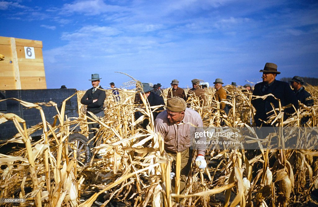 Workers pick ears of corn during corn harvest time.