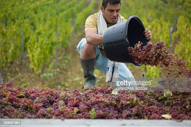 Workers pick grapes during the harvest at the Chateau l'Etoile vineyard on October 8 2013 in l'Etoile BOZON