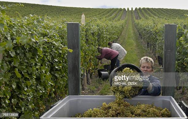 Workers pick irsai oliver grapes 04 September 2007 at the Navacs family vineyard in the Mikulov region South Moravia as a test before the main...