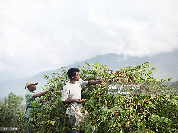 Workers Picking Coffee Beans