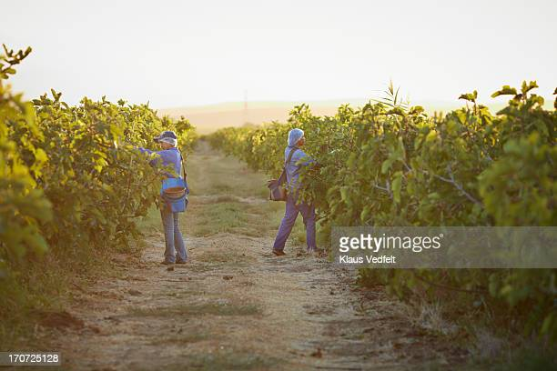2 workers picking figs at sunrise