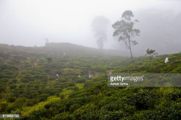 Workers picking tea leaves in a tea garden on a hazy day