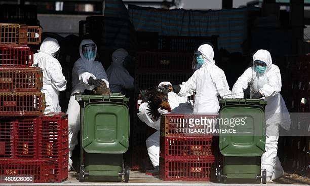 Workers place chickens in a bin during a cull in Hong Kong on December 31 after the deadly H7N9 virus was discovered in poultry imported from China...