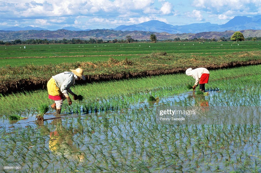 Workers planting rice in flooded paddy field, Philippines : Stock Photo