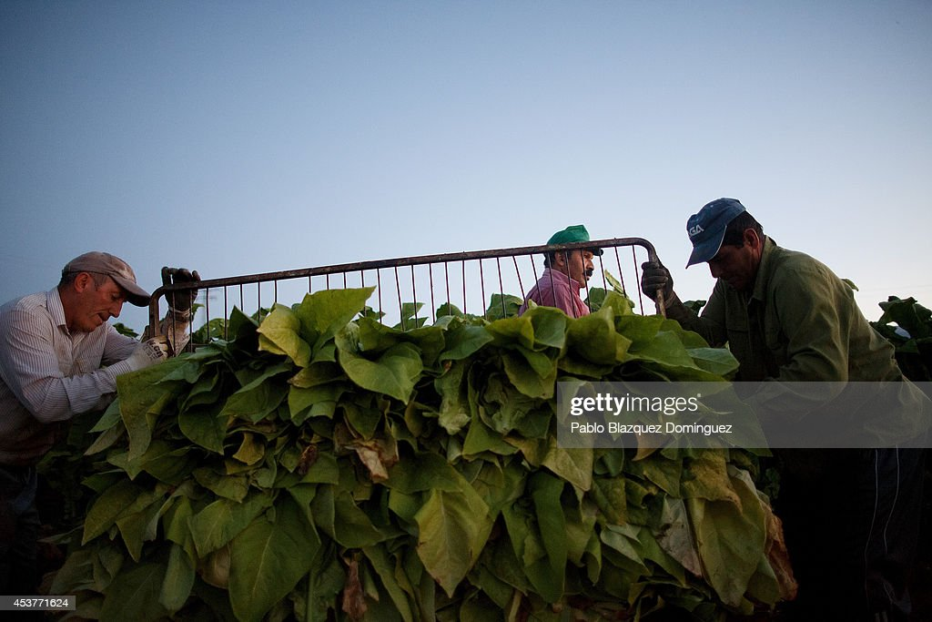 Workers prepare a load of ripe tobacco leaves during the tobacco harvest on a farm on August 15, 2014 near Valverde de la Vera, in Extreamdura region, Spain. There is one team of workers left who still do the Virginia tobacco harvest manually. Spain is the third biggest producer of tobacco in Europe. Around 90 percent of Spanish tobacco is grown in Extremadura, providing an income to around 20,000 families in the region. In recent years tobacco farming in Extremadura has started to mechanize, becoming more competitive but also leading to the loss of manual labour jobs.