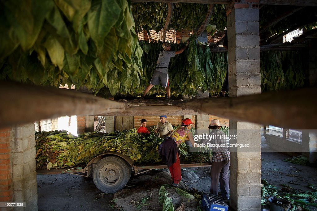 Workers prepare dark tobacco plants to be hanged at a traditional tobacco drying warehouse during the tobacco harvest on a farm on August 14, 2014 near Jarandilla de la Vera, in Extreamdura region, Spain. There is one team of workers left who still do the Virginia tobacco harvest manually. Spain is the third biggest producer of tobacco in Europe. Around 90 percent of Spanish tobacco is grown in Extremadura, providing an income to around 20,000 families in the region. In recent years tobacco farming in Extremadura has started to mechanize, becoming more competitive but also leading to the loss of manual labour jobs.