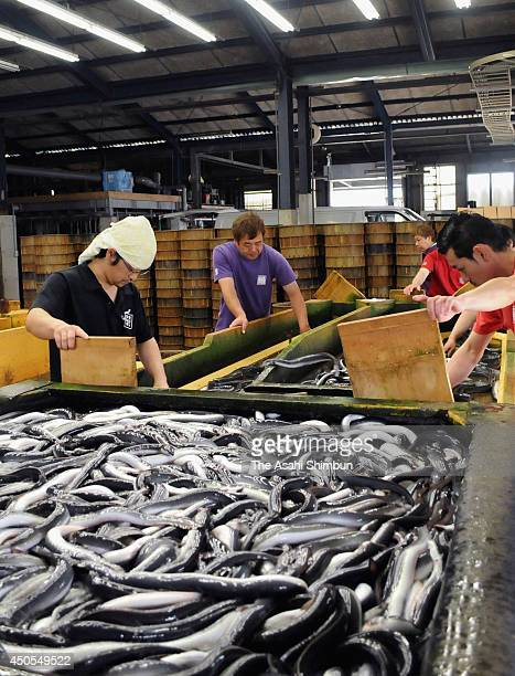 Workers prepare for shipment of 'Isshiki Unagi' on June 12 2014 in Nishio Aichi Japan The Japanese eel has been named an endangered species on an...