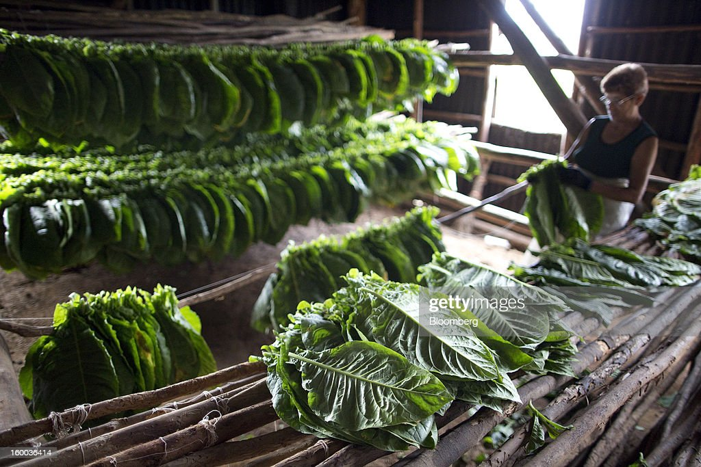 Workers prepare freshly-harvested tobacco leaves for drying on a plantation near Pinar del Rio, Cuba, on Monday, Jan. 14, 2013. In a country where the average monthly salary is $19, according to Cuba's statistics agency, even buying an airplane ticket will be beyond the reach of most of the island's 11 million residents as President Raul Castro begins easing travel rules on the communist island. Photographer: Andrey Rudakov/Bloomberg via Getty Images