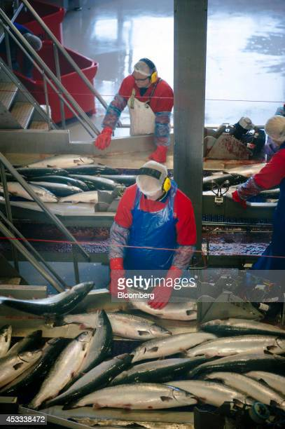 Workers process recently harvested farmed salmon on conveyor belts at a fish farm operated by Salmar ASA on the island of Froya Norway on Thursday...