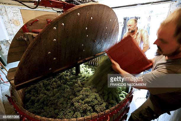 Workers put wine grapes in a vat during the grapeharvest on the farm of an organic wine producer in Champagne in Cumieres eastern France on September...