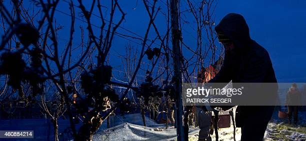 Workers reap frozen grapes for the ice wine on December 29 2014 in the vineyard in Vogtsburg Germany AFP PHOTO / DPA/ PATRICK SEEGER /GERMANY OUT