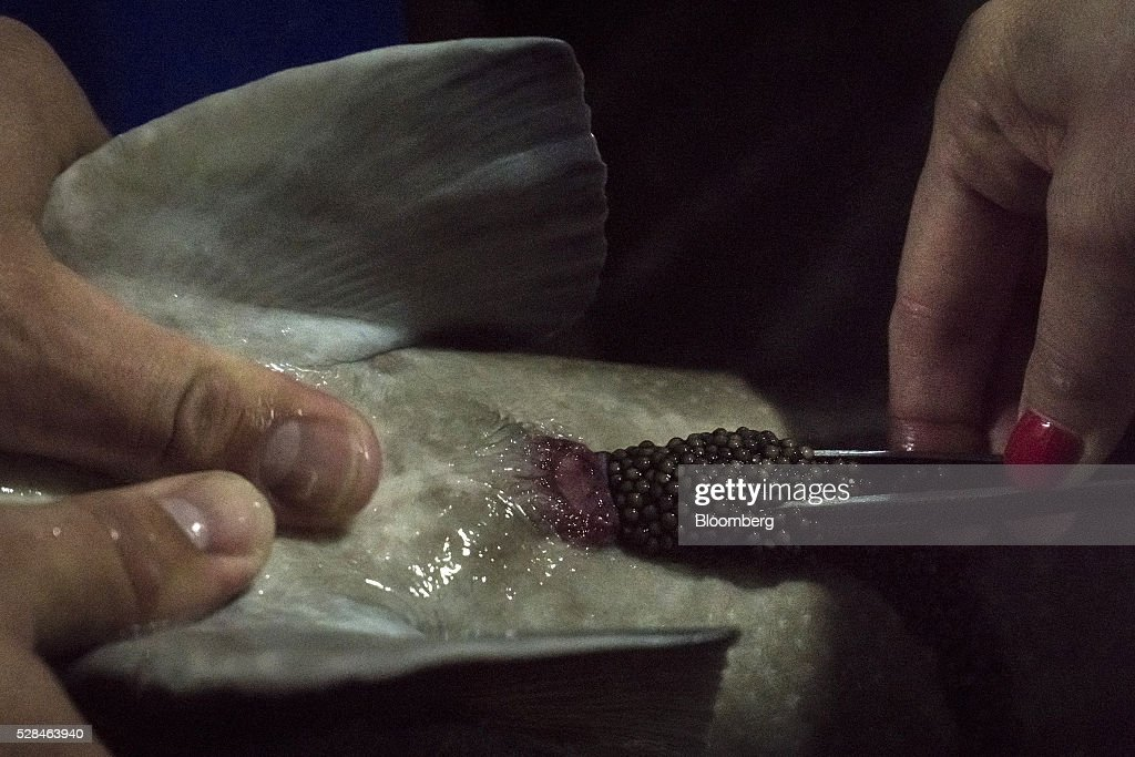 Workers remove black caviar eggs from a live sturgeon fish at the OOO-SRP Osetr aquatic farm in Ukrainka, Ukraine, on Thursday, May 5, 2016. When Russia imposed a trade embargo on imported foods in 2014, caviar was spared from the list. Photographer: Vincent Mundy/Bloomberg via Getty Images