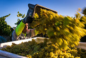 Workers rush to pick chardonnay grapes in the Russian River Valley on September 4 near Santa Rosa California Following the fourth year of drought in...