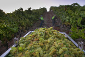 Workers rush to pick chardonnay grapes in the Russian River Valley on September 4 near Santa Rosa California Following a fourth year of drought in...