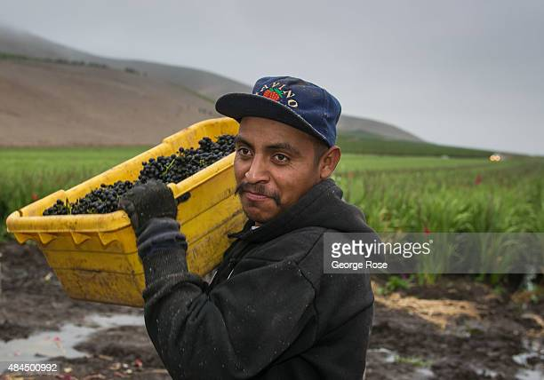 Workers scramble to harvest pinot noir grapes on the first day of harvest in a vineyard off Tepusquet Ranch Road on August 11 near Santa Maria...