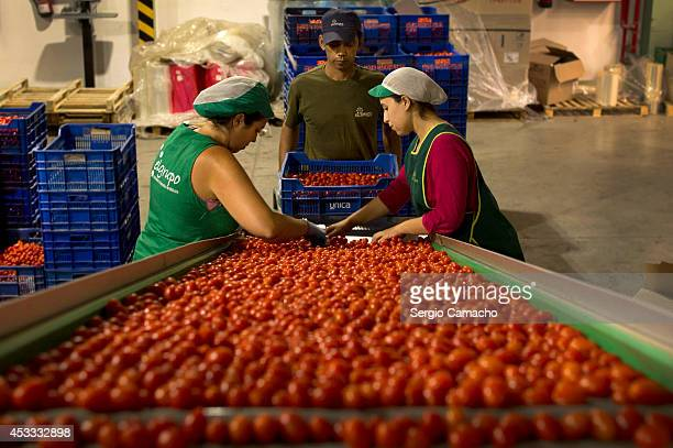 Workers select cherry tomatoes on the packaging production line of international vegetable distribution factory on August 8 2014 in Motril Spain...