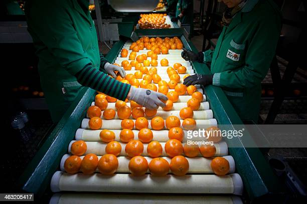 Workers select recently harvested clementineson a conveyor belt in the Naranjas Torres fruit processing center operated by Torres Hermanos y...