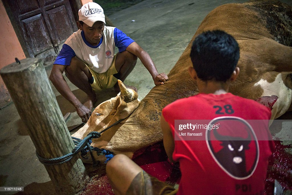 Workers slaughter a cow in an abattoir on June 9, 2011 in Yogyakarta, Indonesia. Australia today announced a suspension of all live animal exports to Indonesia for up to 6 months after a week of controversy following footage of animal mistreatment at Indonesian slaughterhouses. The trade is worth US$340 million per year, and the suspension is expected to hit Australian cattle farmers hard.
