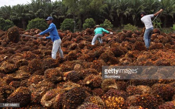 Workers sort bunches of harvested oil palm fruit at the Felda Global Ventures Holdings Bhd palm oil plant in Besout Perak Malaysia on Wednesday July...
