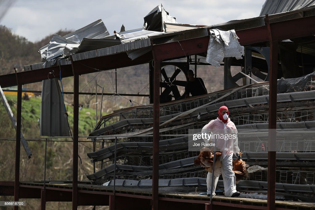 Workers sort the live chickens from the dead ones at the Corporacion Avicola Morovis, Inc chicken farm as they deal with the aftermath of Hurricane Maria on October 2, 2017 in Morovis, Puerto Rico. The farm lost approximately 80,000 chickens when Hurricane Maria destroyed much of the area and they may have to let go of 15 of their workers since the farm can no longer operate.