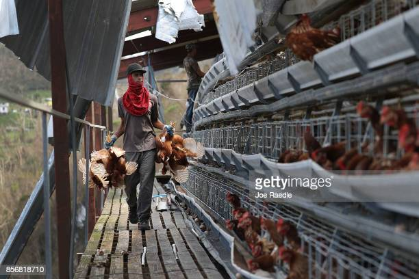 Workers sort the live chickens from the dead ones at the Corporacion Avicola Morovis Inc chicken farm as they deal with the aftermath of Hurricane...