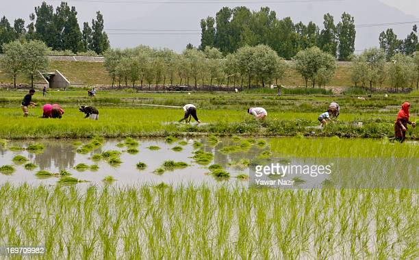 Workers sow saplings during sowing season in a paddy field alongside a railway embankment on May 31 2013 in Budgam 20 km west of Srinagar the summer...