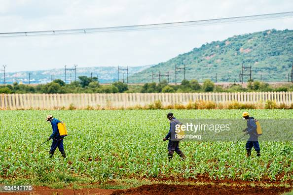 Workers spray a newly planted field of corn with Methomyl 90 SP insecticide to protect against an infestation of fall armyworms also known as...
