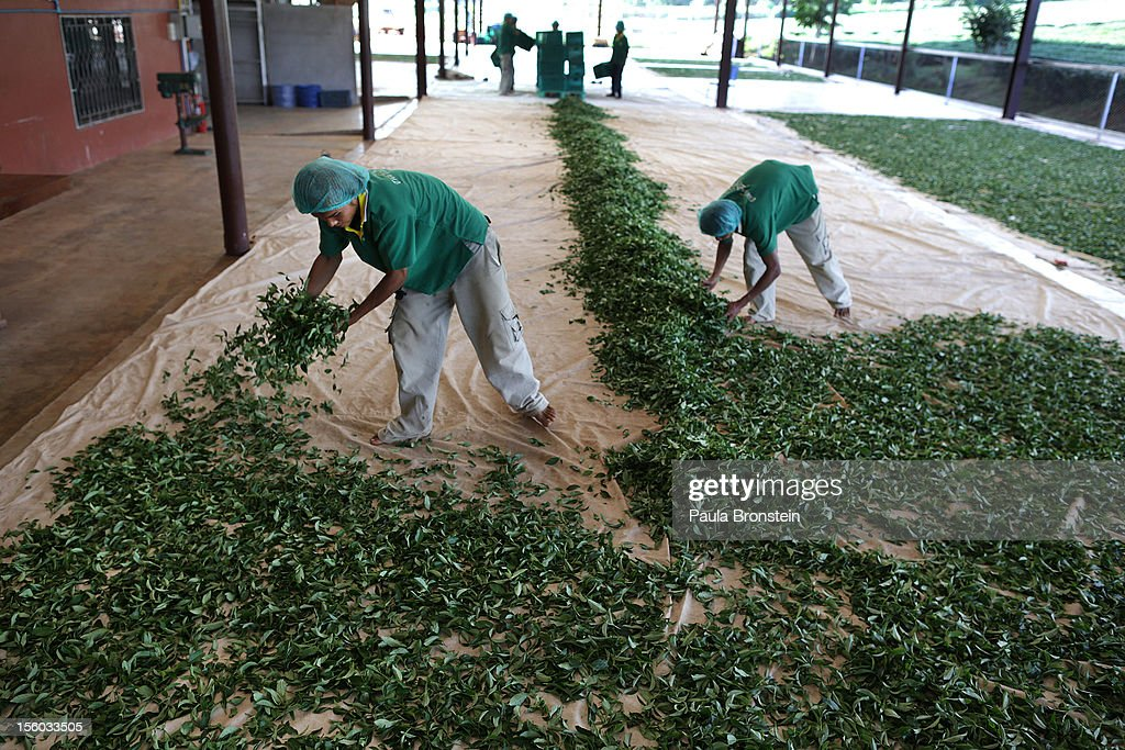 Workers spread out the freshly picked Oolong #17 tea leaves for drying during a harvest at the Suwirun Tea farm in the hills outside of Chaing Rai November 11, 2012 in Chiang Rai, Thailand. There are around 40 Akha hill tribe workers and 120 Burmese making 300 Thai that a day working on the family run Suwirun Organic tea farm. The farm has been in business around 38 years producing The Tea is harvested every 45 days collecting about 1.5 tons on average per harvest.