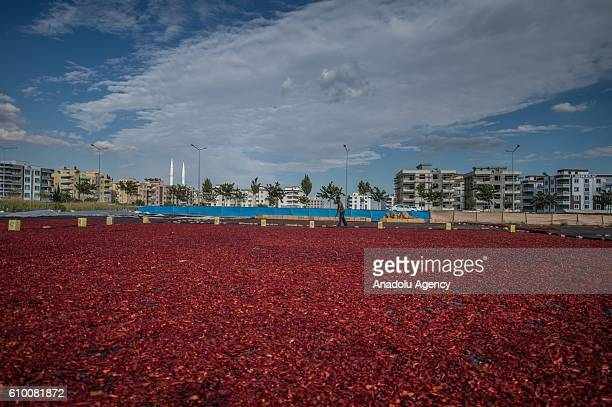 Workers spread red chili peppers on a giant fabric in Sanliurfa Turkey on September 24 2016 After red chili peppers are separated from their stems...