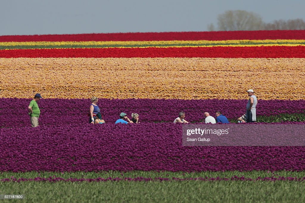 Workers take a break while inspecting rows of tulips at the Degenhardt-Sellmann Spezialkulturen tulip fields near Magdeburg on May 2, 2016 in Schwaneberg, Germany.The company cultivates up to 10 different strains of tulips on 40 hectares of land to harvest not the flowers but the bulbs.