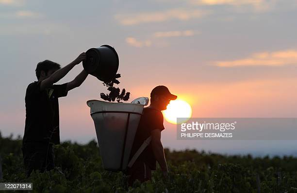 Workers take part in a night harvest as the sun rises early on August 23 2011 in the 'Moulin à Vent' vineyard near Chenas Beaujolais southeastern...