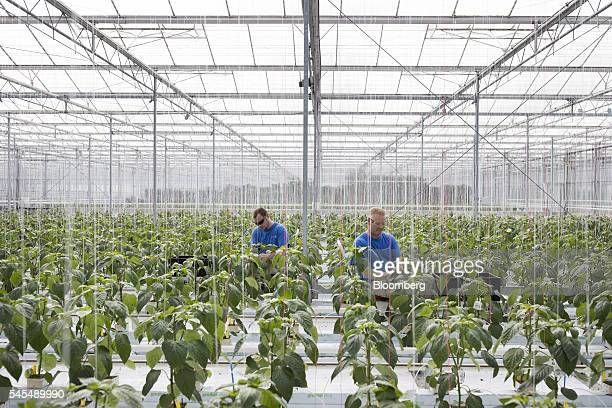 Workers tend to paprika plants inside a greenhouse operated by Seminis and De Ruite the vegetable seeds divisions of Monsanto Co in Bergschenhoek...