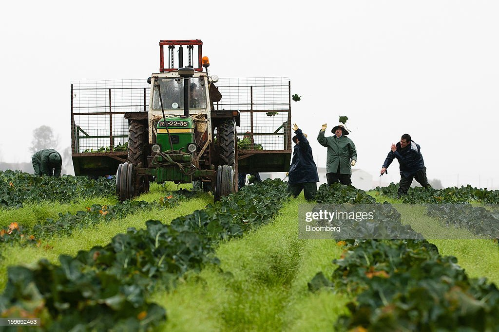 Workers throw broccoli plants into a trailer pulled by a tractor during harvesting in a field at the Monliz-Produtos Alimentares do Mondego e Liz SA frozen food factory in Alpiarca, Portugal, on Friday, Jan. 18, 2013. Portuguese Prime Minister Pedro Passos Coelho says he does not want Portugal to get a second rescue program. Photographer: Mario Proenca/Bloomberg via Getty Images