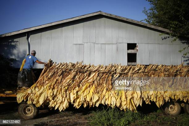 Workers unload burley tobacco leaves off of a tractor flatbed after being harvested at Tucker Farms in Shelbyville Kentucky US on Thursday Aug 24...