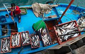 Workers unload the catch of the day at the pier in Nuro Piura northern Peru on July 12 2016 Overfishing has put in risk the subsistence of the 30000...