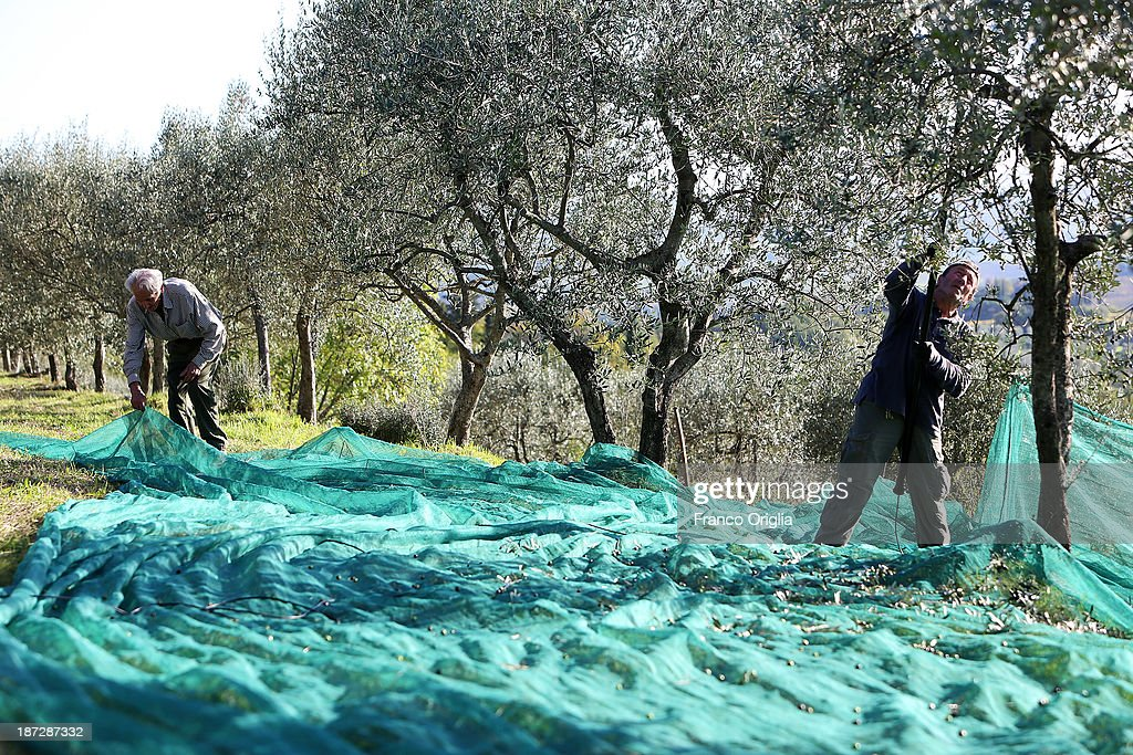 Workers use a net to harvest olives at the Castello La Leccia estate on November 7, 2013 in Castellina in Chianti (Siena), Italy. An optimal climate, fertile land and skilled hands make Tuscan extra virgin olive oil one of the most popular food product in and outside of Italy.