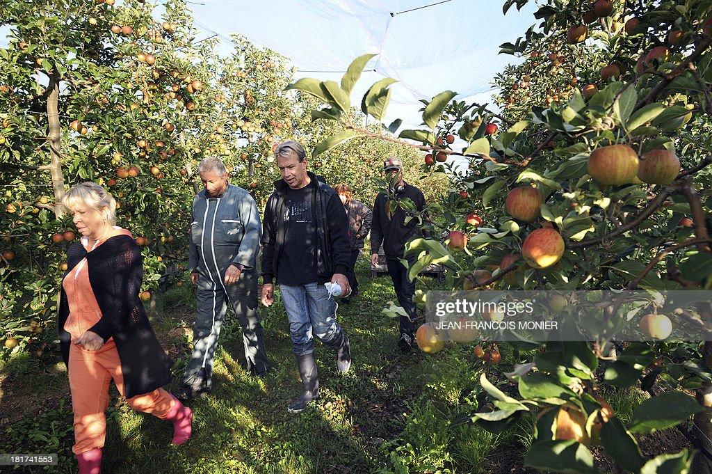 Workers walk past Gala apple trees during the harvest in an orchard in Beaumont-Pied-de-Boeuf, western France, on September 24, 2013. Patrick Langevin, arborist, has hired 55 people for one and a half month, to pick fruits on his 25 hectares orchard.