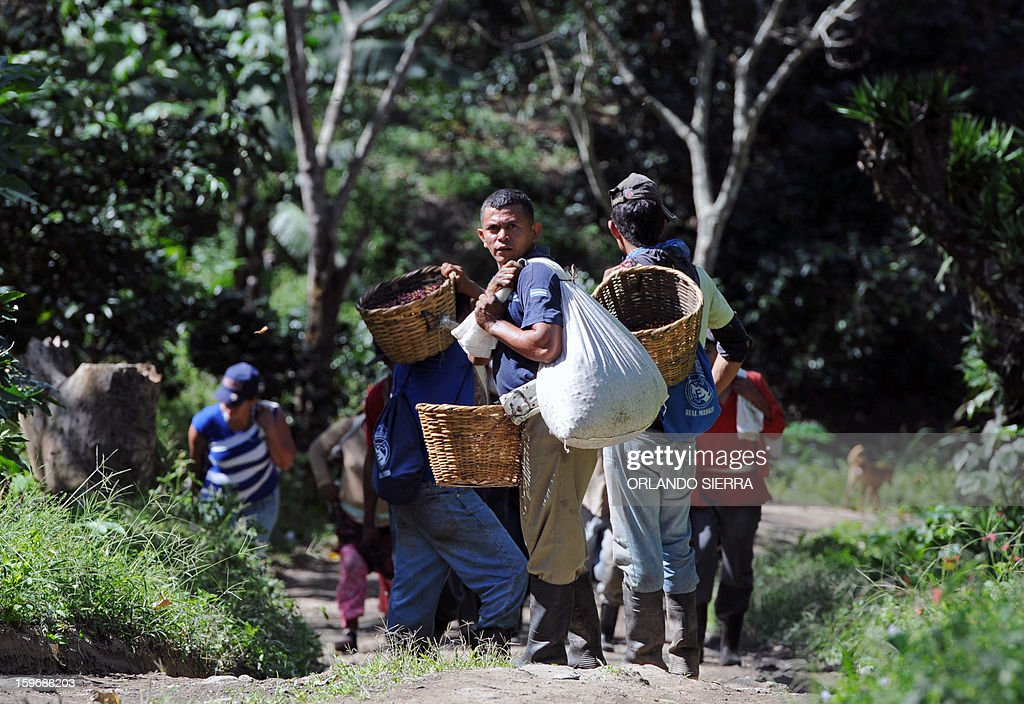 Workers walk with baskets during coffee harvest in the department El Paraiso, 110 kms east of Tegucigalpa, on Januray 17, 2013. Central America, one of main producers of the best Arabica Coffee, is analyzing to take measures to combat the Roya (Puccinia graminis) blight already threatening more than one third of the bean crop, one of the region's major export items. AFP PHOTO/Orlando SIERRA