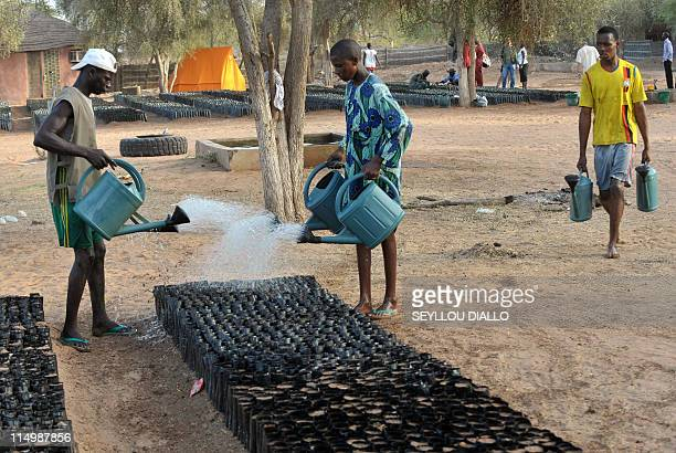 Workers water the Widu tree nursery on May 23 2011 in Senegal's Louga region part of the Great Green Wall a lush 15km wide strip of different plant...