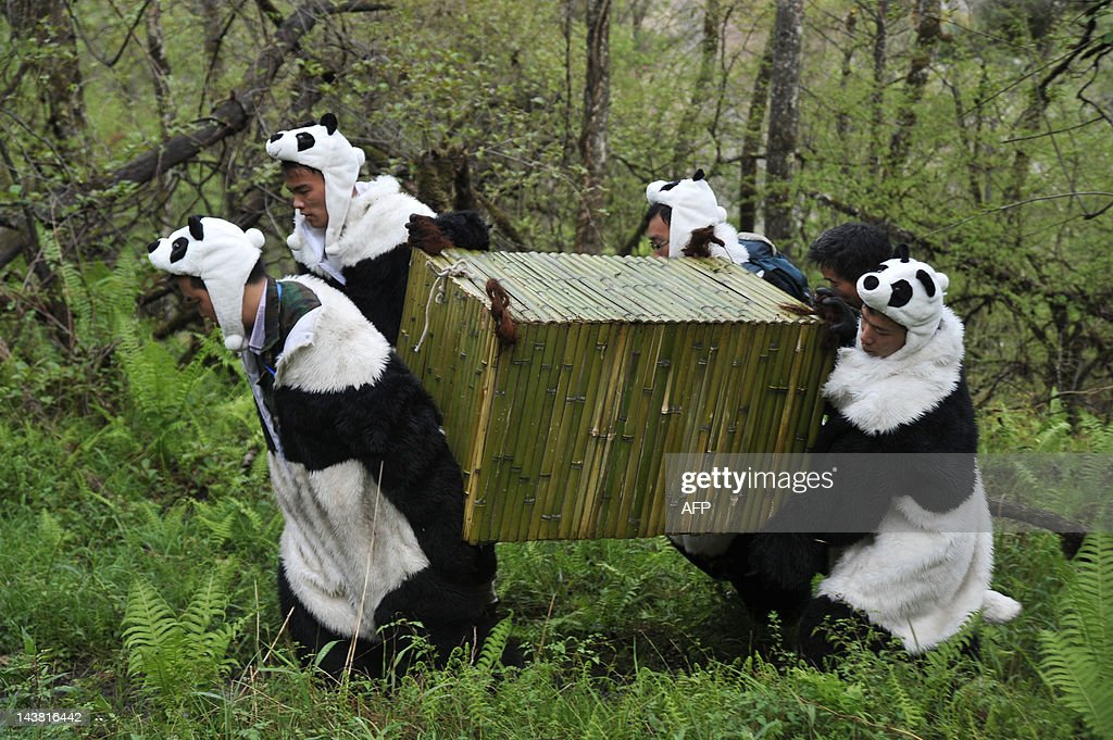 Workers wear panda costumes as they carry a box to transport Giant Pandas back to the wild at the Wolong National Nature Reserve in Wolong southwest...