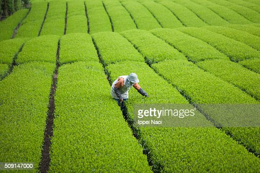 Working at green tea plantation in Japan