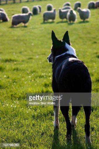Working Border Collie farm dog rounding up sheep