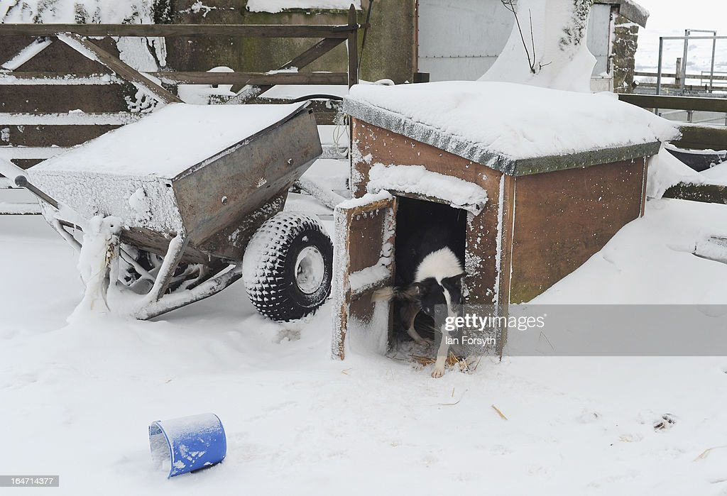 A working dog takes shelter at Bleathgill Farm in the hamlet of Barras steps out of its kennel on March 27, 2013 near Kirkby Stephen, Cumbria, England. Stuart Buckle, 23, runs Bleathgill Farm with his father Wilf and as the heavy snow continues to fall, extra effort is needed to look after and protect their Swaledale sheep from the cold. Across the UK, farmers are battling to save livestock after heavy snow and freezing temperatures has left thousands of sheep and cattle stuck in the fields with no access to food and fresh water.