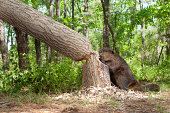 """Beaver, cutting down a large oak tree"""
